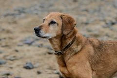 Wet dog after a hard day at the beach. royalty free stock photography