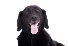 Lovely labrador. Happy dog photographed in the studio on a white background royalty free stock photos