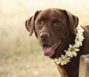 Lovely labrador Stock Images