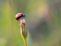 Lovely Ladybug Royalty Free Stock Image