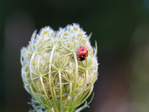 Lovely Ladybug Royalty Free Stock Images