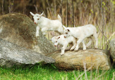 Lovely Lambs Royalty Free Stock Images