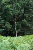 Lovely landscape image of single silver birch tree in green fore. Lovely landscape image of single silver birch tree in lush green forest setting Stock Photo