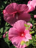 Hollyhocks are a large and brightly colored variety of flower royalty free stock images