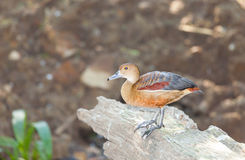 Lovely Lesser Whistling-Duck Stock Photo