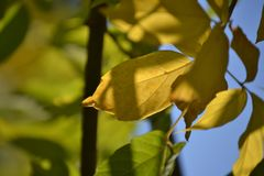 Lovely light and shadow on the yellow and green leaves on the branch. Autumn sunny day. Light and shadow. Warm autumn. royalty free stock photography