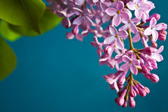 Lovely Lilac. On the blue background Royalty Free Stock Images
