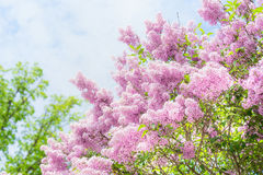 Lovely Lilac blooming over sky background. Outdoor nature background with  Lilac blossom. In garden or park Royalty Free Stock Photography