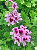 Lilac and purple Pelargonium Geranium flowers. Lovely lilac and purple Pelargonium Geranium flowers in bloom during summer royalty free stock photo
