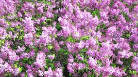 Lovely Lilac tree in colorful bloom stock footage