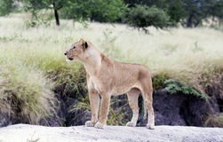 Lovely lioness gracefully standing on a rock Royalty Free Stock Photos