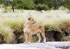 Lovely lioness gracefully standing on a rock Royalty Free Stock Image
