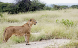 Lovely lioness gracefully standing in the savannah Royalty Free Stock Photos