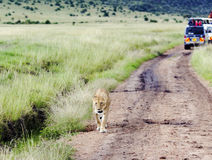 Lovely lioness walking on the savannah in a park Tarangire Stock Photography