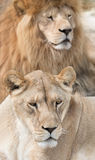 Lovely lions Stock Photography