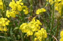Lovely little bee, feeding on a bright yellow field-flower Stock Photography