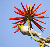 Lovely little bird and red flowers. Royalty Free Stock Photography