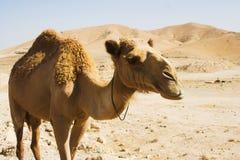 Camel in desert Royalty Free Stock Images