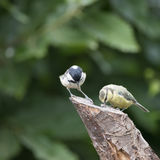 Lovely little Coat Tit bird Periparus Ater on tree in woodland l Stock Photos