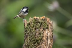 Lovely little Coat Tit bird Periparus Ater on tree in woodland l Royalty Free Stock Photos