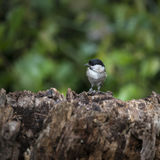 Lovely little Coat Tit bird Periparus Ater on tree in woodland l Royalty Free Stock Image