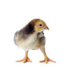 Lovely little easter chick Royalty Free Stock Images