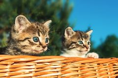 Lovely little frightened kittens peeking out of the basket, outdoors stock image