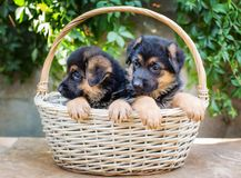 Lovely little German Shepherd puppies. In a wicker basket royalty free stock photos