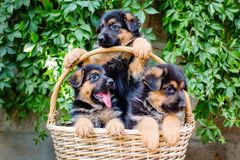 Lovely little German Shepherd puppies. In a wicker basket stock image