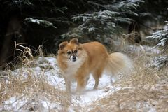 Lovely little ginger dog on the forest road. Lovely haired ginger little cute fox dog in the winter on the forest snowy road. Poetic dog portrait Stock Photos