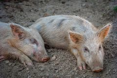 Lovely little pigs are sleeping on the farm stock photos