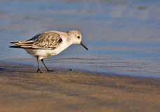 Lovely little Sandpiper Stock Image