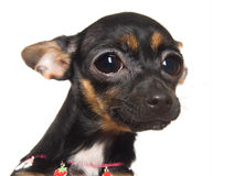 Lovely little toy-terrier Royalty Free Stock Photos