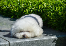 A lovely little white dog. Is sleeping in a park Stock Photography