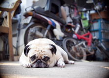 Lovely lonely white fat cute pug dog laying on the concrete garage floor Royalty Free Stock Photography