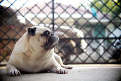 Lovely lonely white fat cute pug dog laying on the concrete garage floor Stock Photo