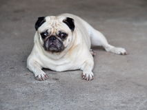 Lovely lonely white fat cute pug dog laying on the concrete garage floor Stock Images