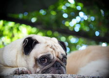 Lovely lonely white fat cute pug dog laying outdoor Royalty Free Stock Image