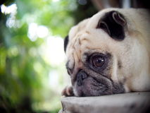 Lovely lonely white fat cute pug dog laying outdoor Stock Images