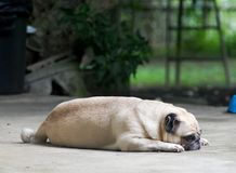 Lovely lonely white fat cute pug dog portraits. Laying on the garage floor outdoor making sadly face selective focus blur background under morning sunlight Stock Image