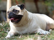 Lovely lonely white fat pug Stock Image