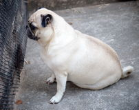 Lovely lonely white pug dog on the floor Royalty Free Stock Photo