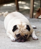 Lovely lonely white pug dog Stock Photography