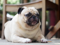 Lovely lonely white pug dog Royalty Free Stock Images
