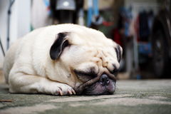Lovely lonely white pug dog Royalty Free Stock Photography