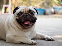 Lovely lonely white pug dog Stock Photos