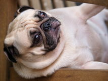 Lovely lonely white pug dog Stock Photo