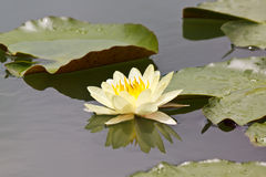 Lovely lotus Royalty Free Stock Photo