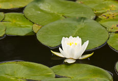 Lovely lotus Royalty Free Stock Images