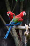Lovely macaws on the branch Stock Image